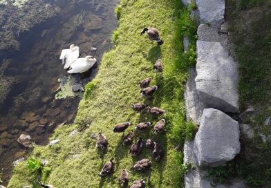 ُُُُُswans and Geese  قوها و غازها